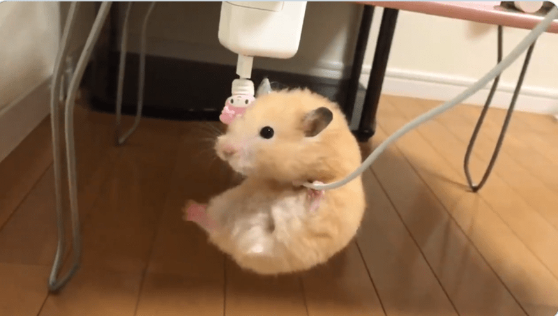 Japanese Couple Posts Adorable Video Of Their Pet Hamster