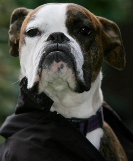 Bruno The Boxer Dog That Looks Like Phantom Of The Opera Boxer