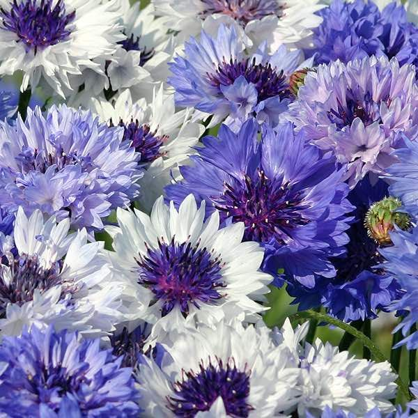 Bachelor S Button Seeds 8 Varieties Bachelor Button Flowers Annual Flowers Flower Seeds