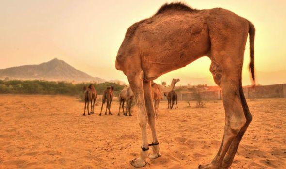 Camel looks like it has no head