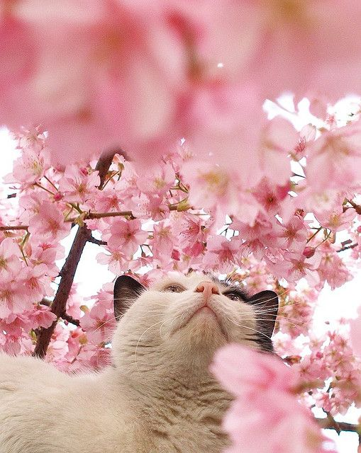 Cat Among The Cherry Blossoms 1 Pretty Cats Cats And Kittens Crazy Cats