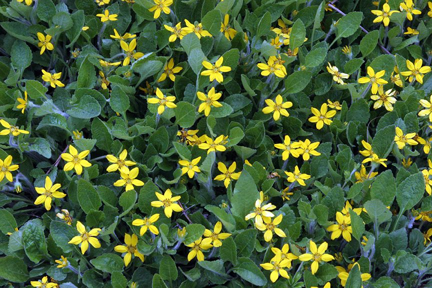 Looking for a native ground cover for sun to part shade for Perennial ground cover plants for sun