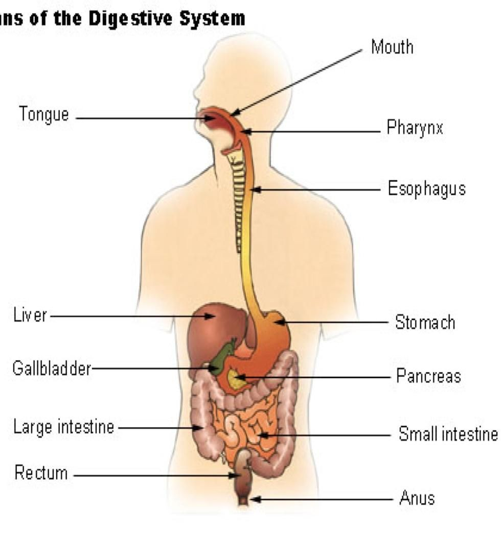 Diagram Of The Esophagus Human Anatomy Drawing Human Anatomy