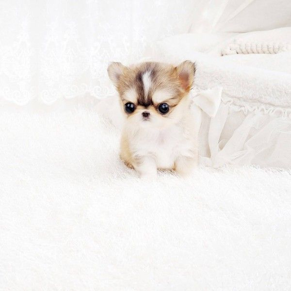 All Puppies For Sale Teacup Chihuahua Puppies Chihuahua Puppies