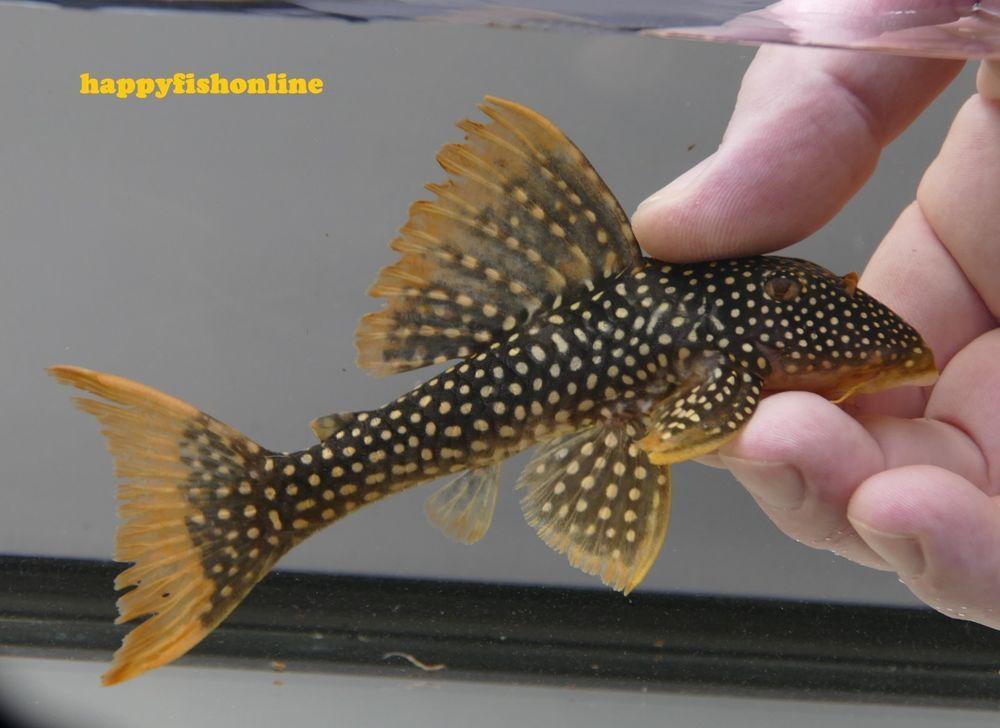 L014 Sunshine Pleco Sao Do Felix You Get The Actual Fish In The Photos 6 Inch Plecostomus Fish Catfish
