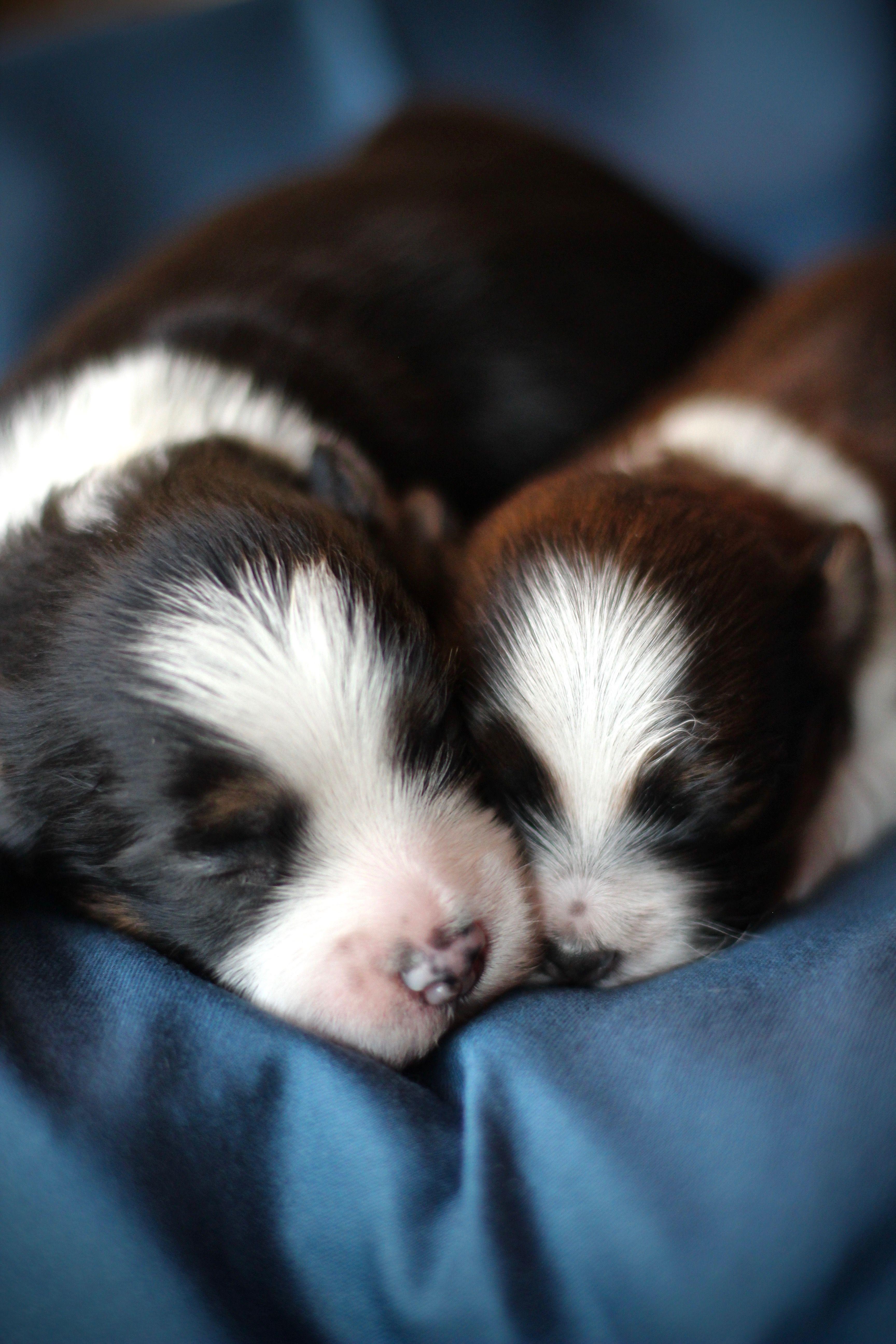 Shichon Babies Babybarks Ca Shih Tzu Puppy