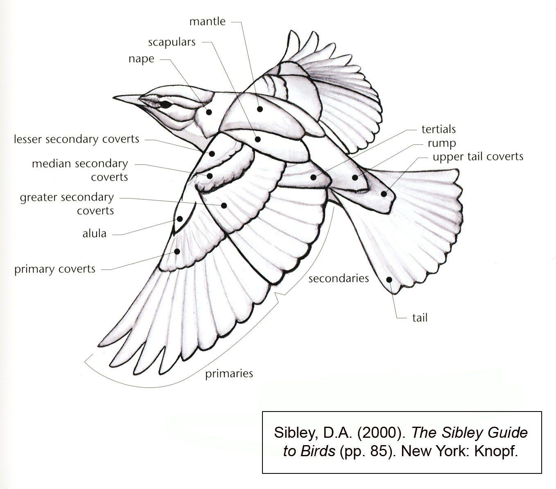 Found on Google from highend3d.com   Bird Anatomy   Pinterest