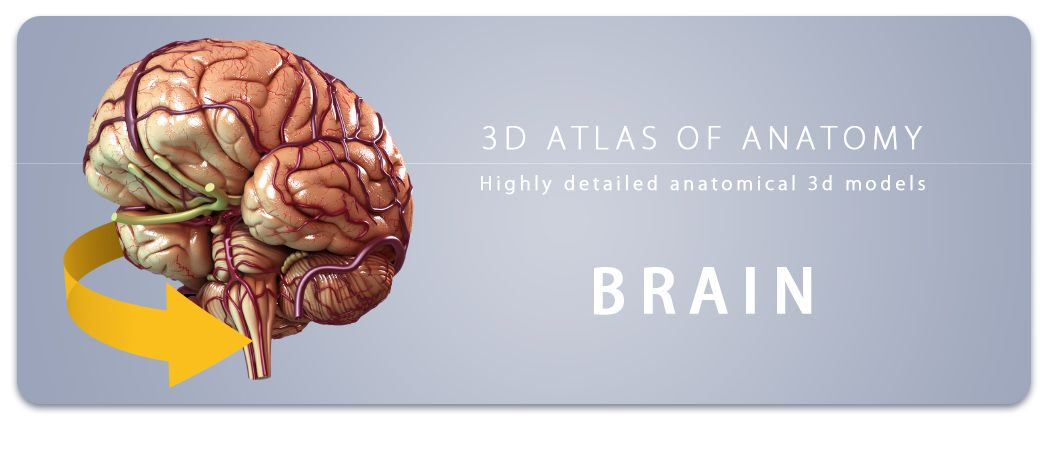 Brain 3d Anatomy Apps Your Fingertips Pinterest Human