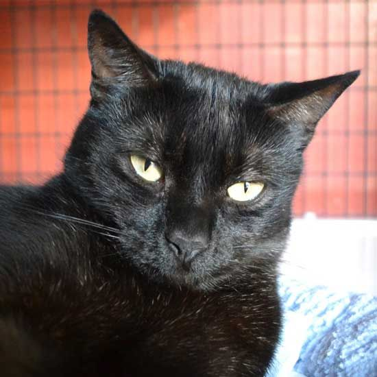 Squeaky Is A Gorgeous Black Cat Who Never Goes Out Of Style You Can Adopt This Classy Kitty In Sandiego Cat Adoption Pet Adoption Cats And Kittens