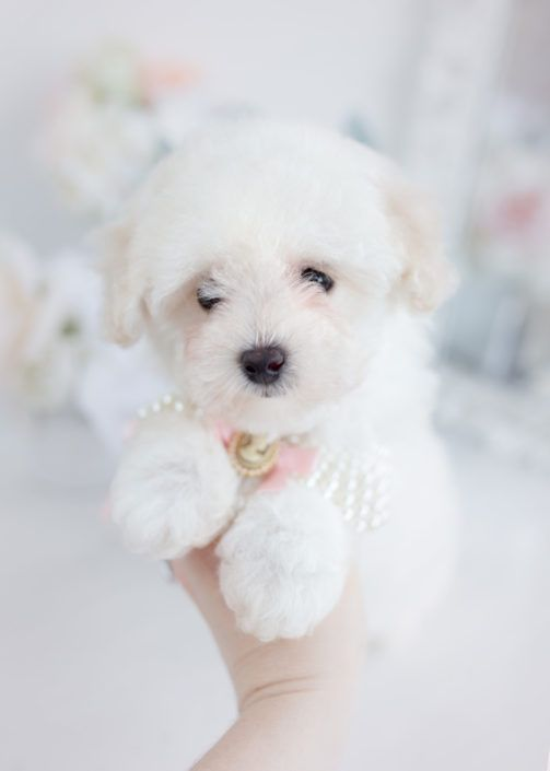 maltipoo-puppy-for-sale-teacup-puppies-015 #cuteteacuppuppies maltipoo-puppy-for-sale-teacup-puppies-015 #cuteteacuppuppies