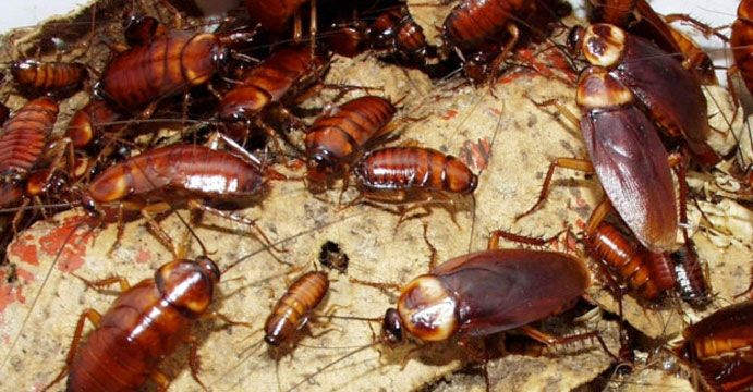 Get Rid Of Cockroaches From Kitchen Easily Recipe Cockroach