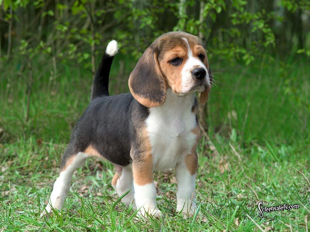 Beagle Cute Beagles Beagle Hound Beagle Puppy