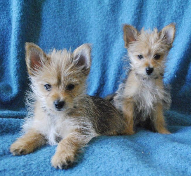 Pomeranian Yorkshire Terrier Mix Cute Dogs Fox Terrier Baby Animals