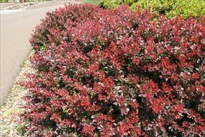 Berberis Thunbergii Atropurpurea Crimson Pygmy Crimson Pygmy Japanese...