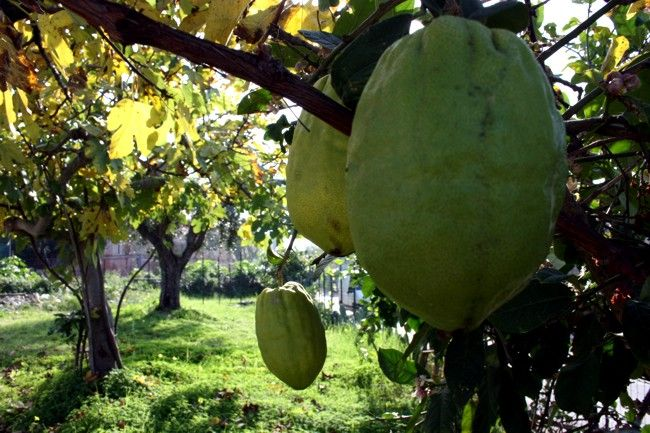 Citrus medica plant, Cedro liscio di Diamante (Riviera dei cedri)