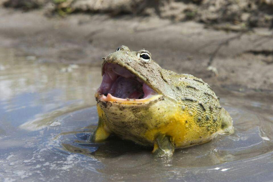 Animals by robertt Pet frogs, African bullfrog, Frog
