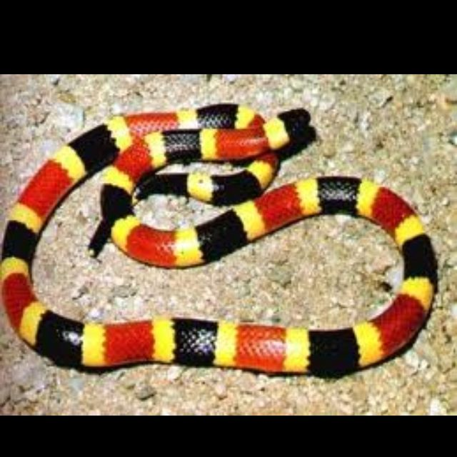 This coral snake may be small but is it very venomous.