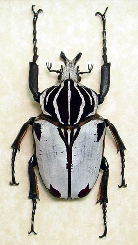 Goliathus Goliatus Beetles For Sale In Archival Insect Displays Beetle Insect Bugs And Insects Insects