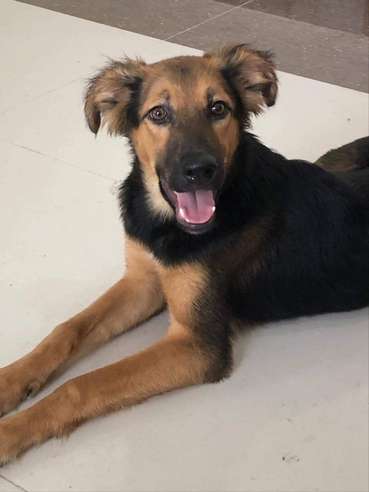 Jack is a German Shepherd + Saluki mix. View his profile