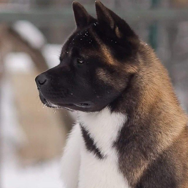 My Husband Doesn T Want Dogs But I Do Akita Dog American Akita American Akita Dog