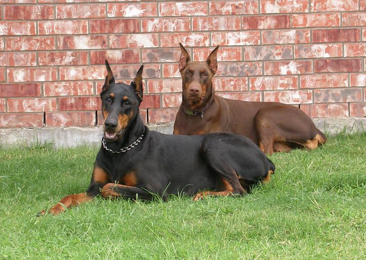 Doberman The One In The Back Looks Like My Sable Doberman
