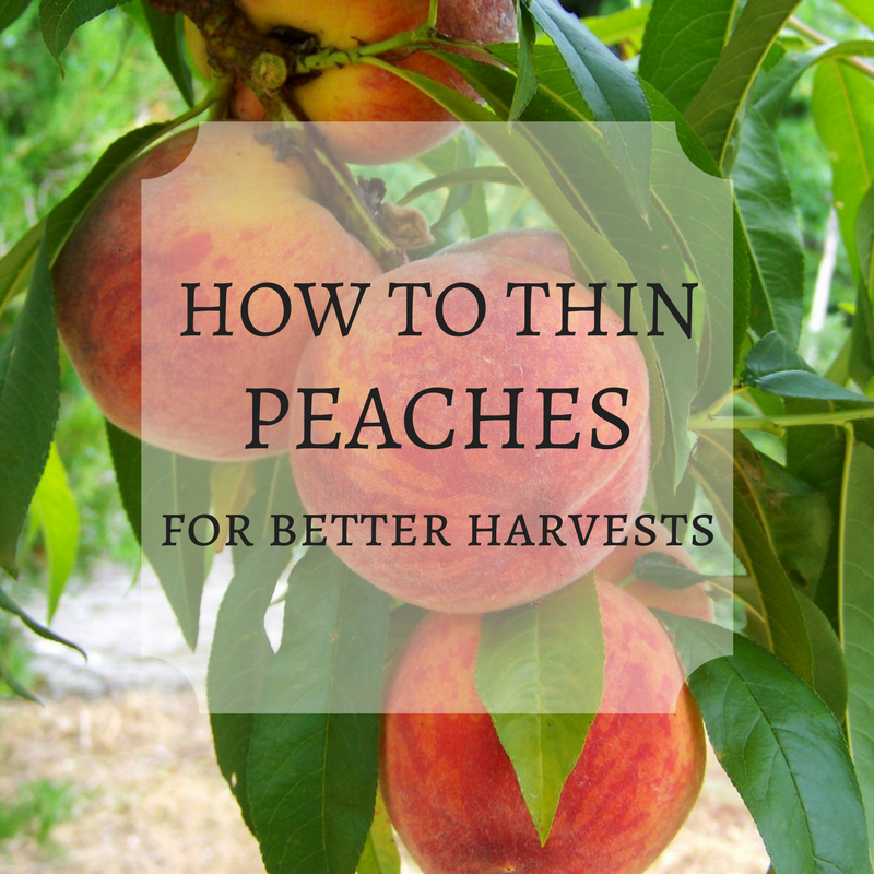 to Thin Peaches for Better Harvests & Healthier Trees Thinning peaches on your tree will give you more beautiful and abundant harvests, and safeguards the health of your fruit tree. Here's how to thin peaches!Thinning peaches on your tree will give you more beautiful and abundant harvests, and safeguards the health of your fruit tree. Here's how to thin peaches!