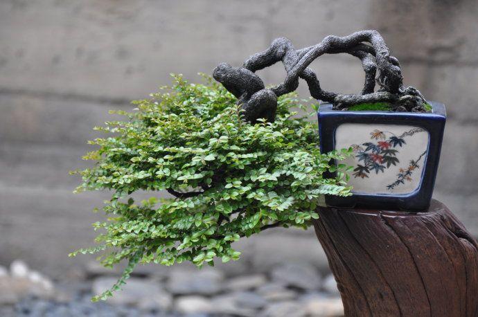 Sandalwood bonsai  | Pretty Plants X Structure X Pots | Bonsai