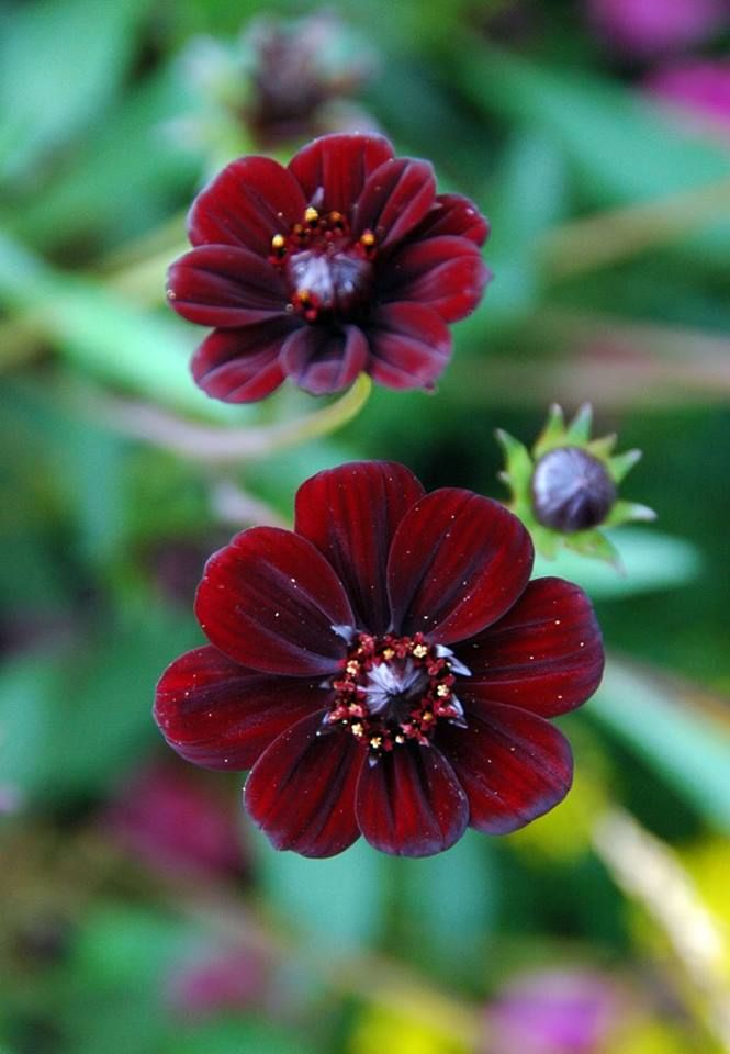 Chocolate Cosmos Perfect For Fall Burgandy Cosmos Flowers Flowerbed Cottagegarden Amazing Flowers Beautiful Flowers Planting Flowers