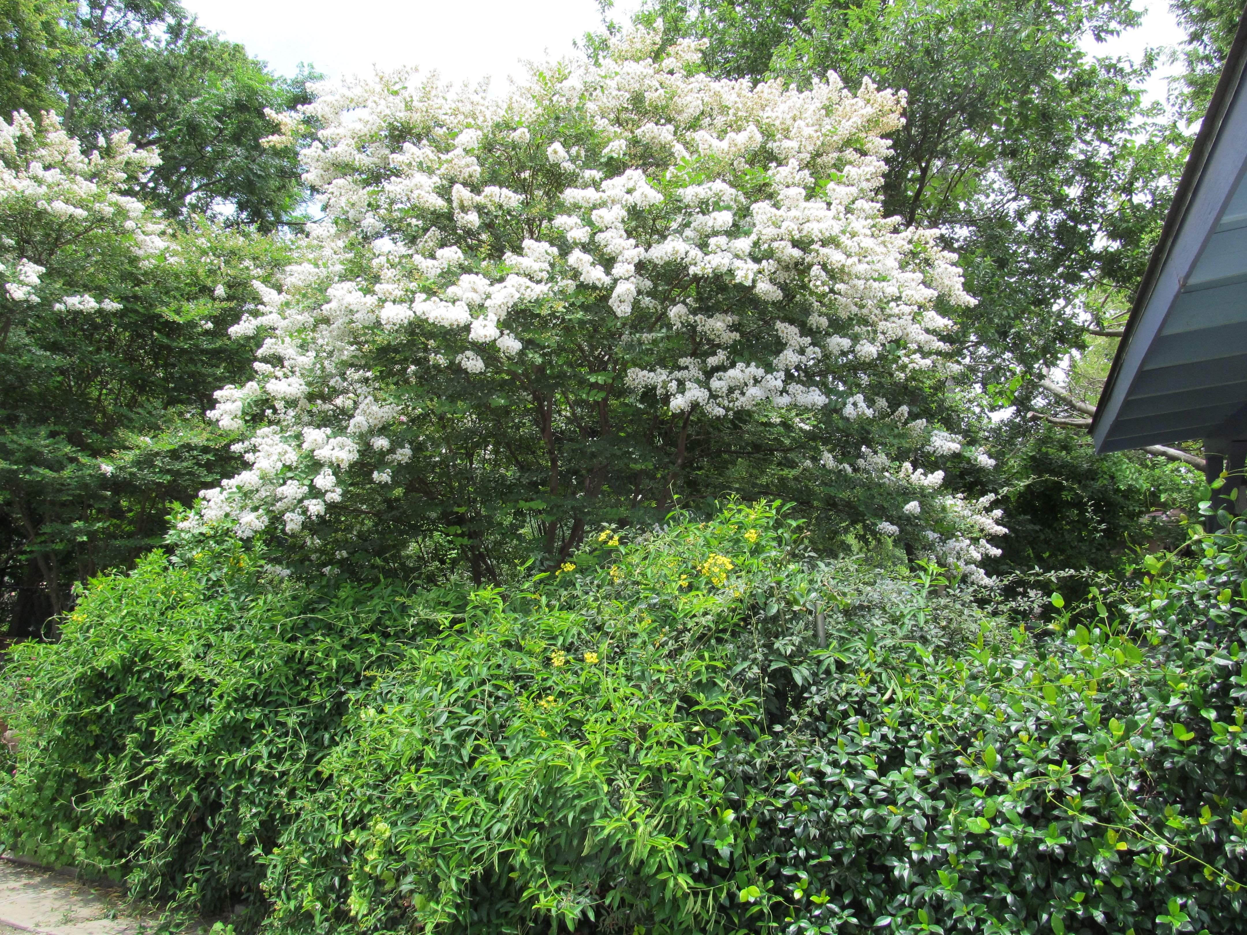 White Crepe Myrtle Trees in my backyard. Called Natchez. | Campaign ...