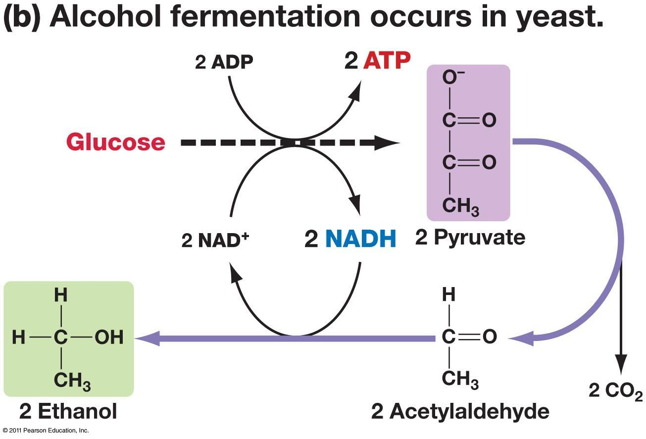 alcoholic fermentation and lactic acid relationship