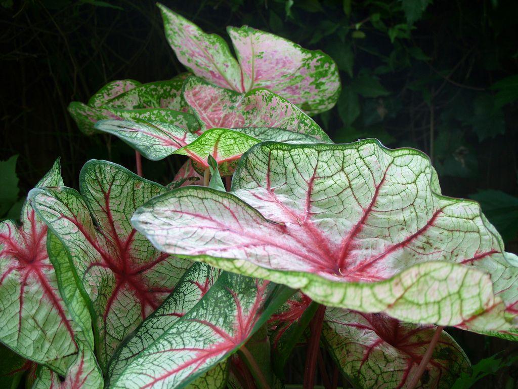 Caladium in shade garden | Shade garden, Shade plants, Garden