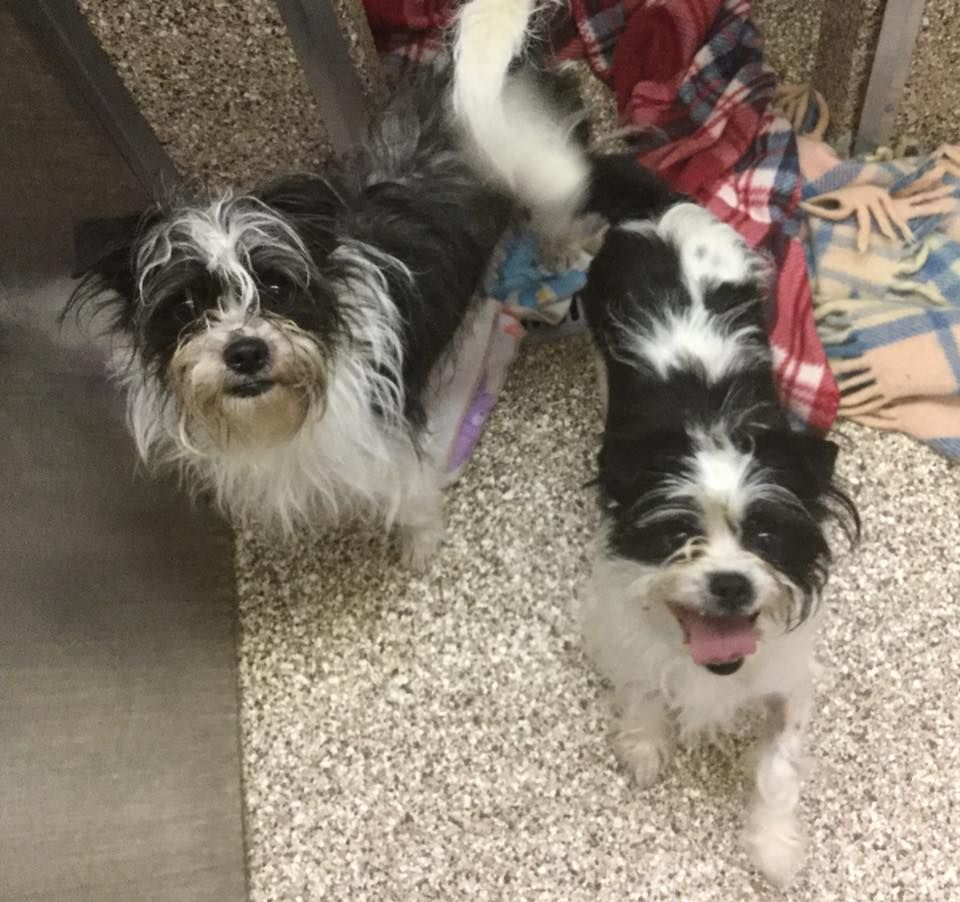 Shichi Dog For Adoption In Martinsburg Wv Adn 534009 On