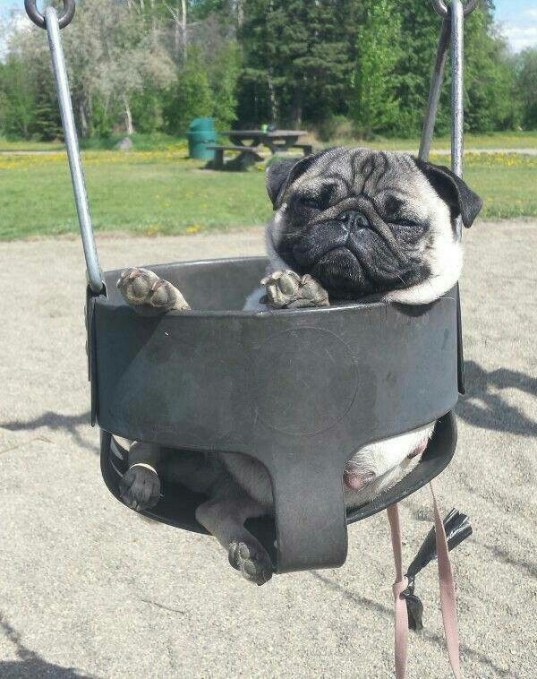 86179100a Pug in a swing   The Pug Life   Pugs, Baby pugs, Dogs