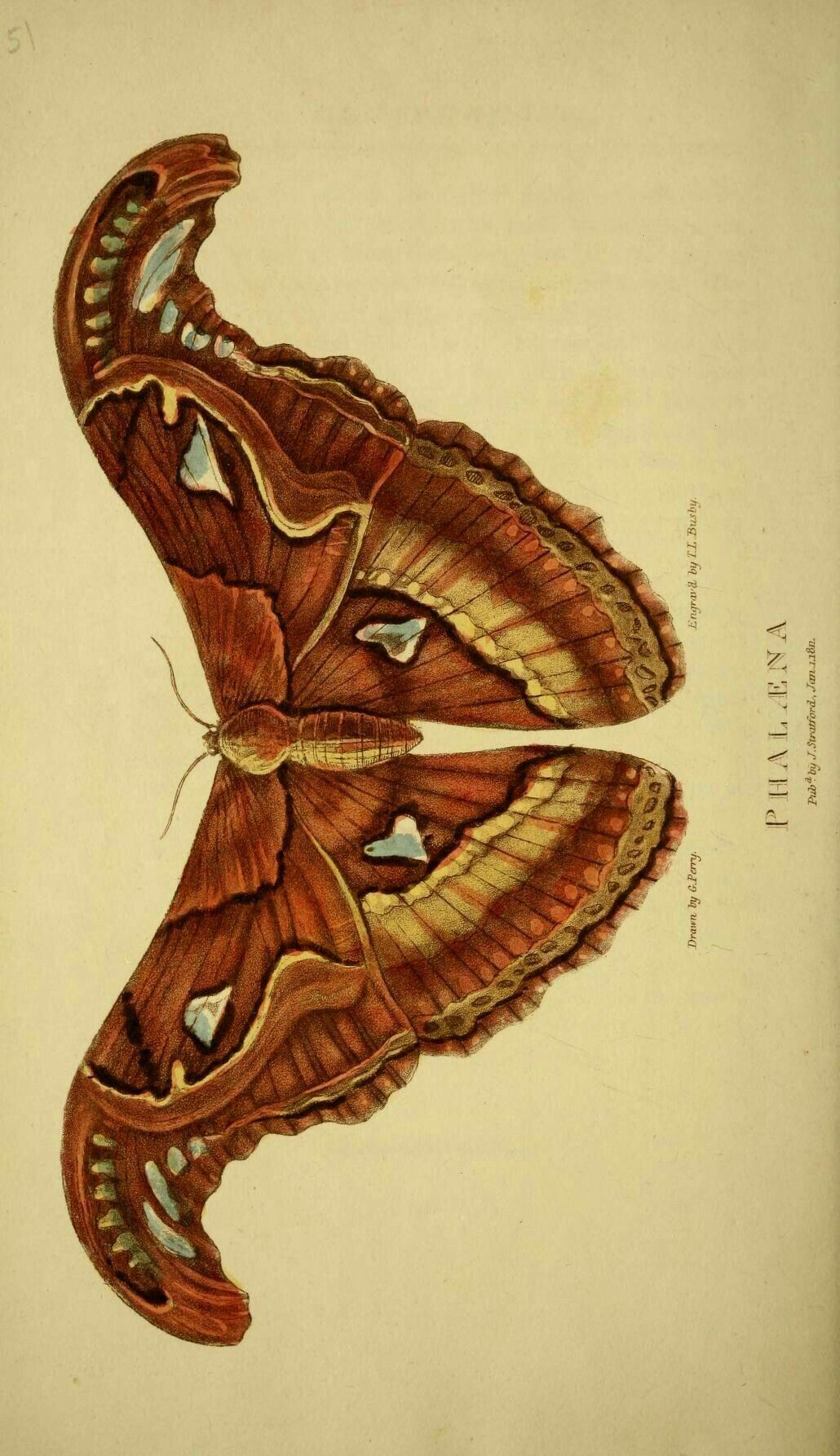 Épinglé par Dinceko _ sur Fauna Papillon de nuit