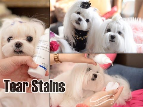 Maltese Tear Stain Cleaning Solution Demo'd by TWEETY the SWEETY & DOLCE da DIVA ** (^_^) **Maltese Obsession | Maltese Obsession