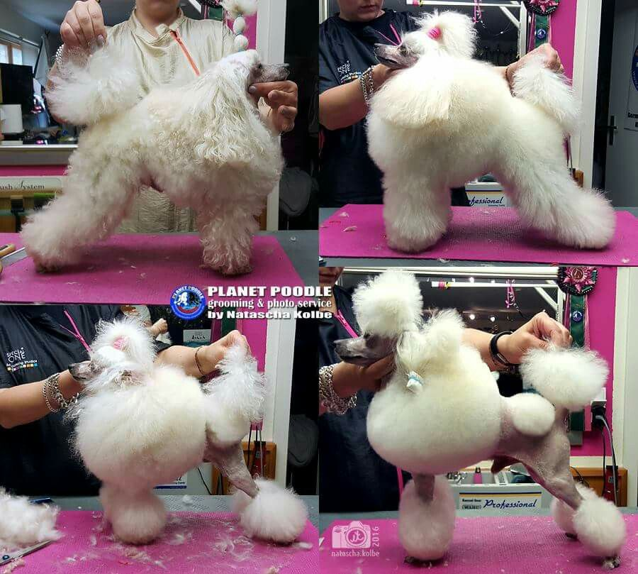 Pin By Antime On Poodle Fashion With Images Dog Grooming Pet Grooming Goofy Dog