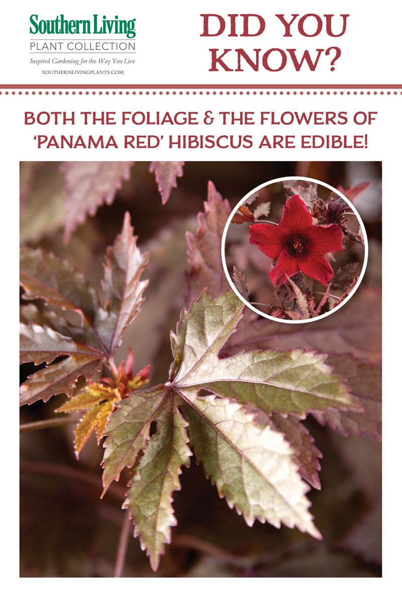 Discover The Edible Beauty Of Panama Red Hibiscus Fl Fruit