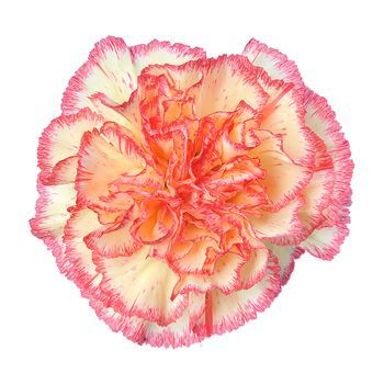Yellow Carnations Red Bicolor Carnation Wedding Flowers Fresh Flowers Yellow Carnations Carnation Flower Tropical Wedding Flowers