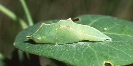 cabbage white | Plant leaves, Cabbage, Plants