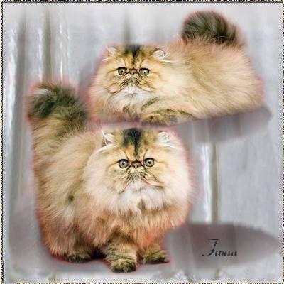 Breedstandard Of Persians Tabby Persian Cat Beautiful Cats Love Pet
