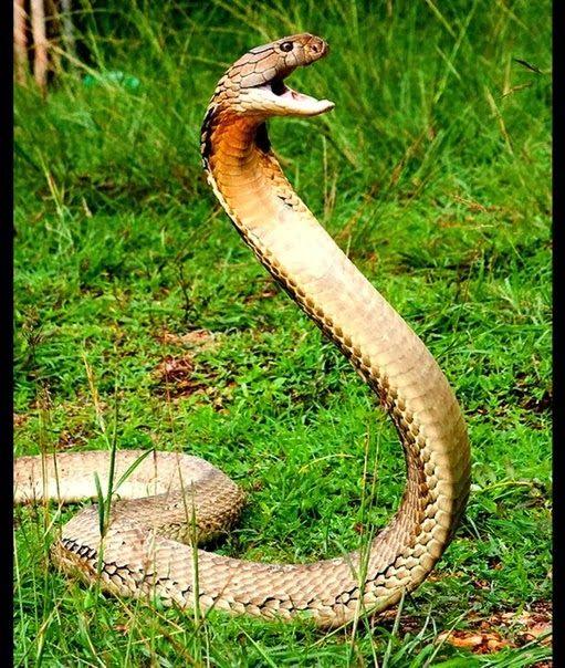 King Cobra With Images King Cobra Snake Cobra Snake King Cobra
