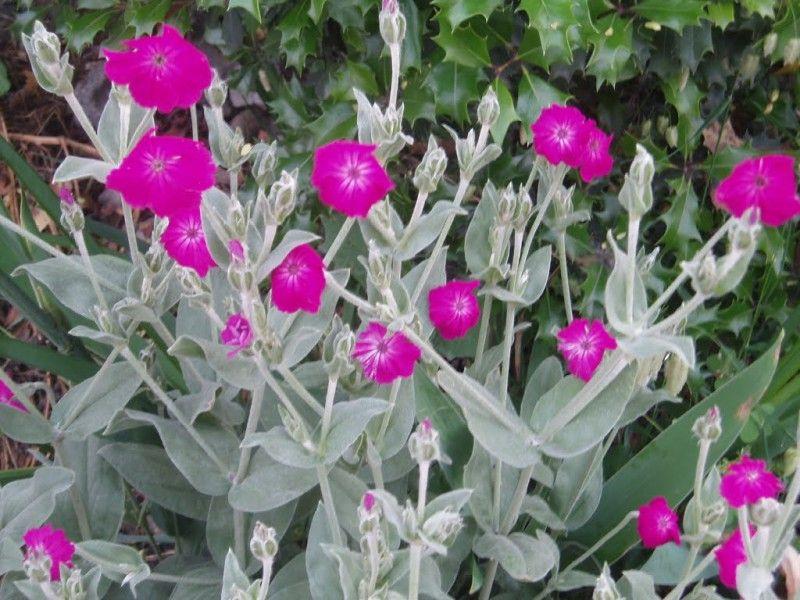 Coquelourde des jardins lychnis coronaria jardinage for Plantes qui poussent a l ombre