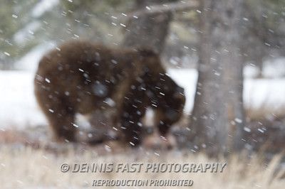 GRIZZLY BEAR  I take a lot of out of focus pictures but usually not deliberately! When I was focusing my lens for this shot, however, I felt that blurring the main subject added an aura of mystery to the scene. The focus shifts to the falling snow while the details are left to the imagination.