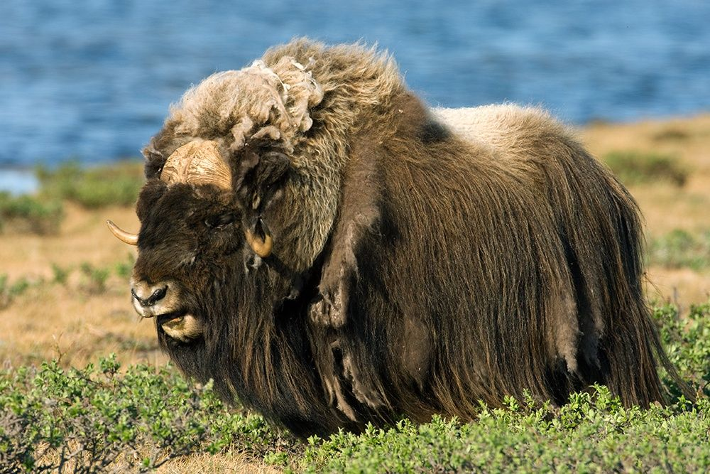 MuskOxen Arctic Migration Latest Photos Musk ox