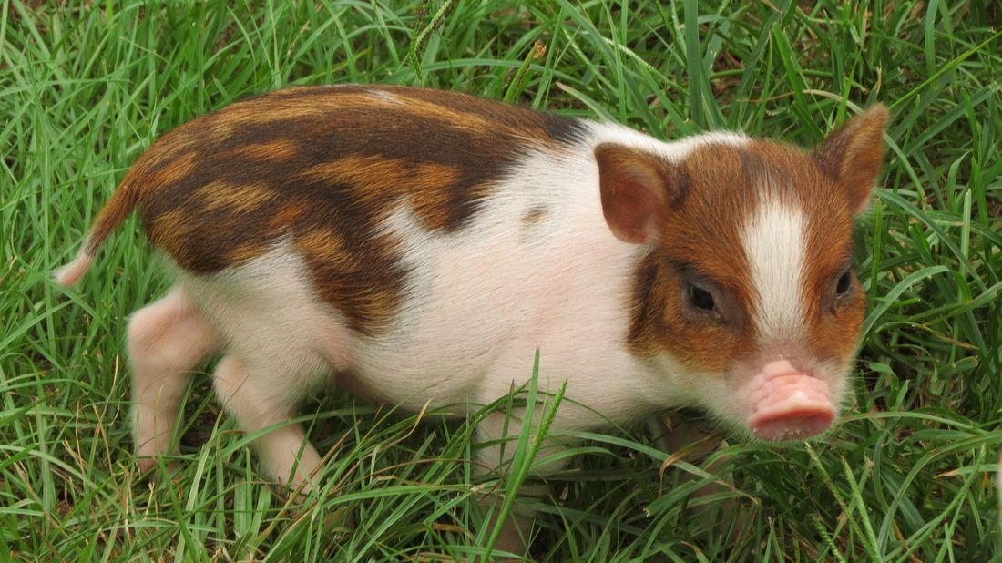 Juliana and Micro Miniature Teacup Pigs for Sale in
