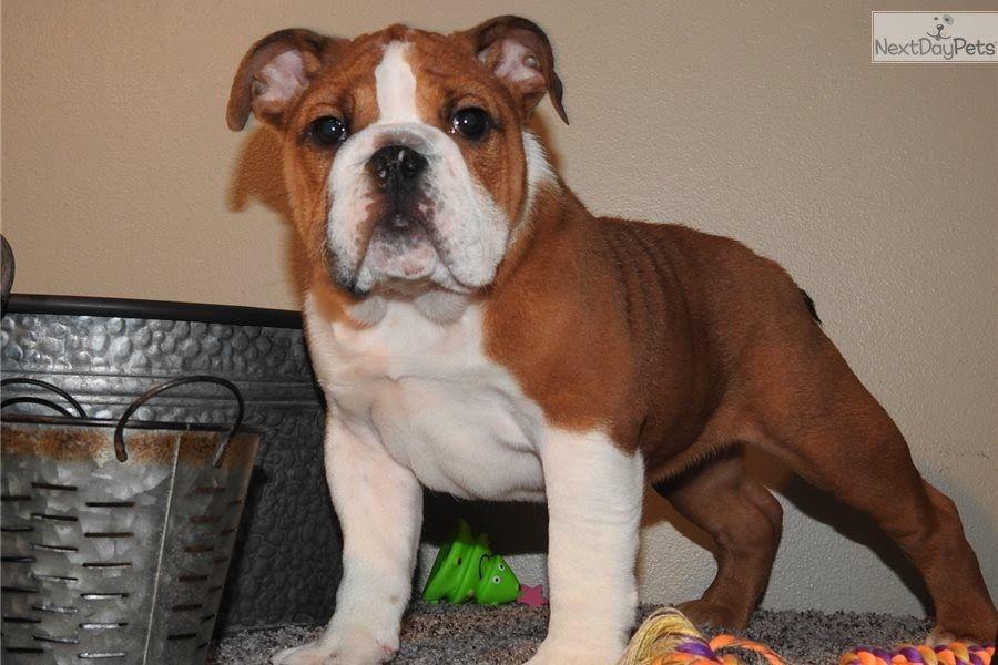Milo English Bulldog Puppy For Sale Near Tulsa Oklahoma French