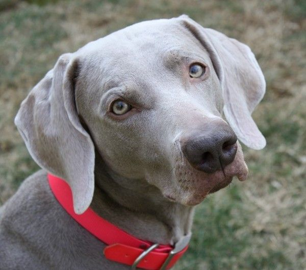Driftwood Weimaraners Nc Breeder Weims My Favorite Dogs