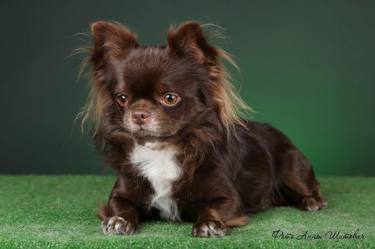 Chocolate Long Haired Chihuahua Stunning Chocolate Long Coat