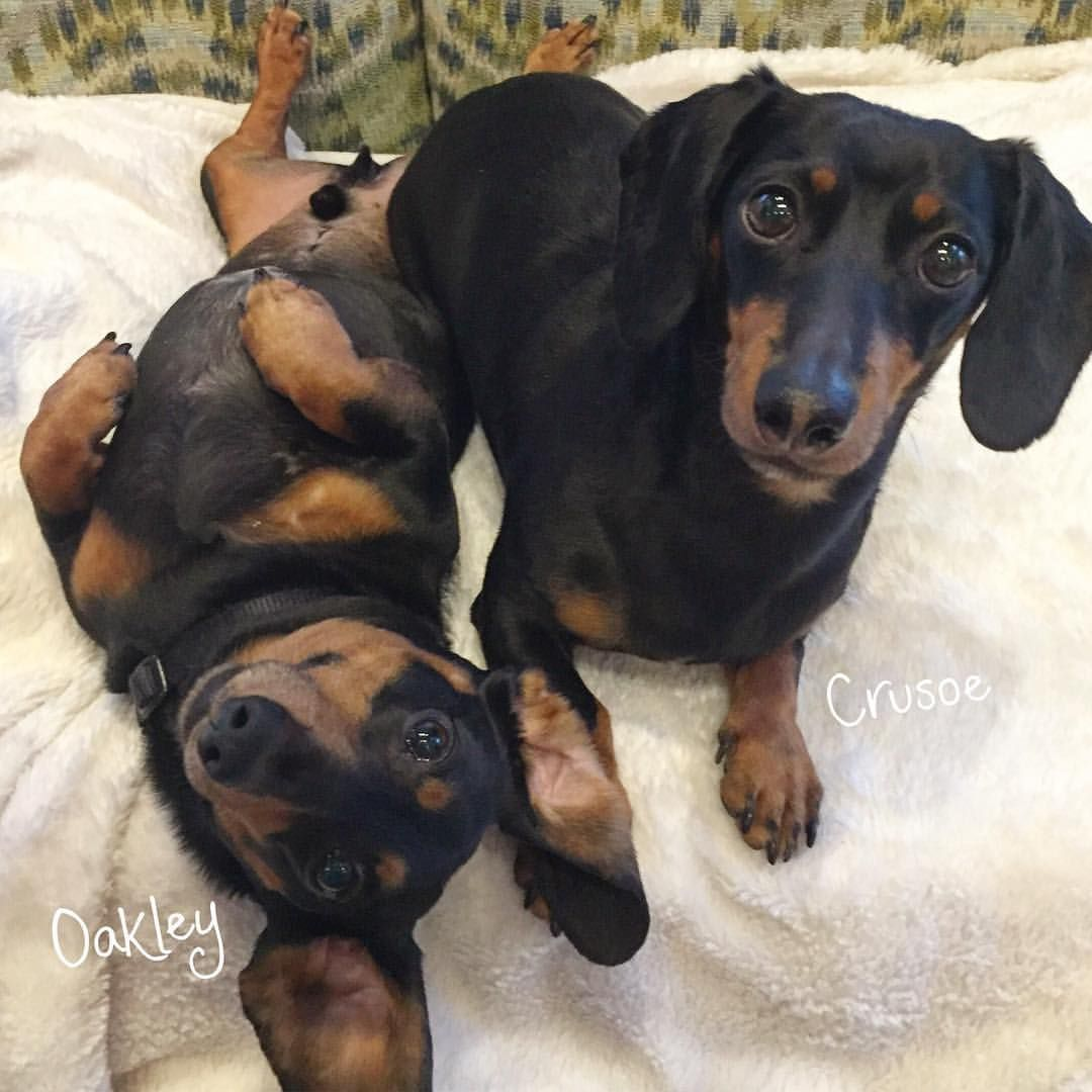 "Crusoe the celebrity dachshund | ""The goofy brother is back for the holidays!!"" ~..."