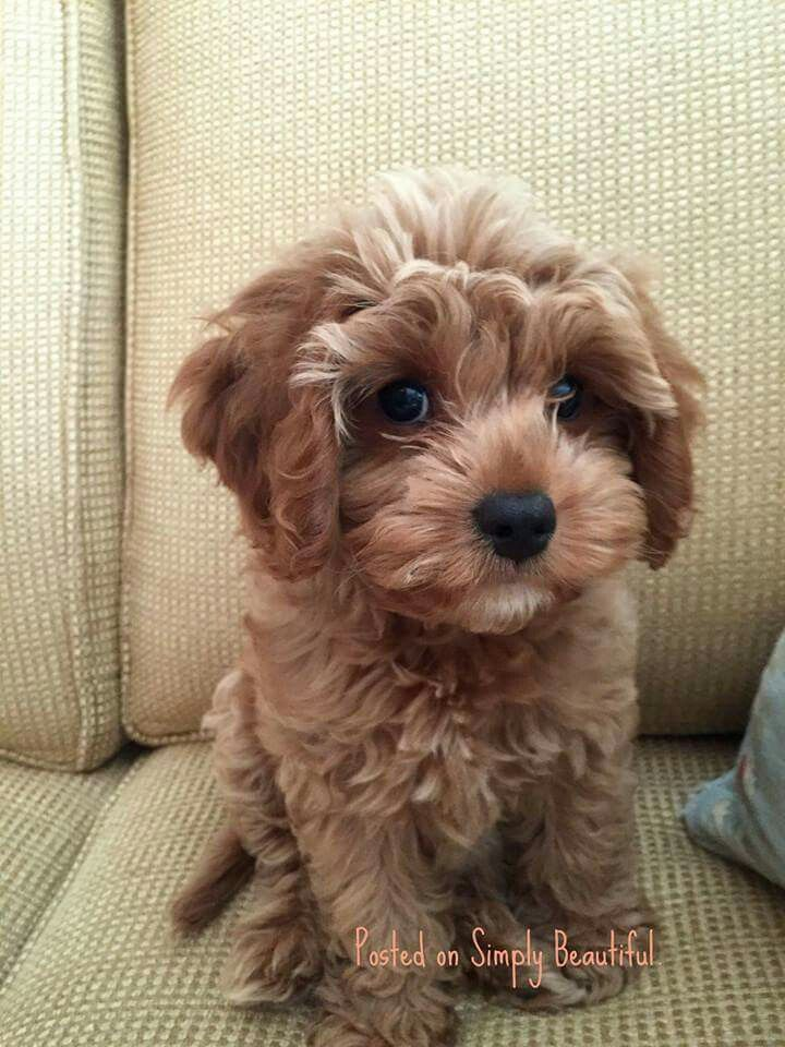 Such A Cute Little Nugget Cute Baby Animals Puppies Poodle Mix